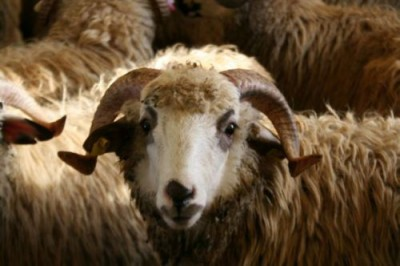 Sheep-Fete-de-Mouton